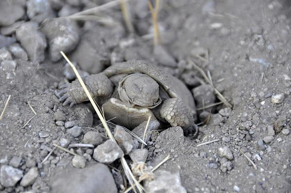 ivanpah-solar-tortoises-2-14-14-thumb-600x398-68711