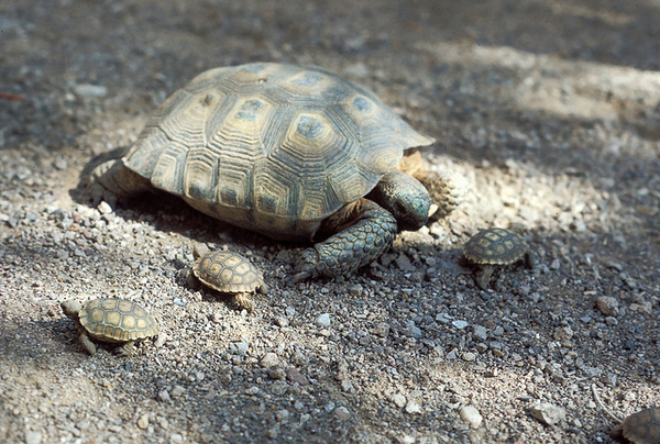 defenders-sues-over-desert-tortoise-3-6-14-thumb-600x404-70107
