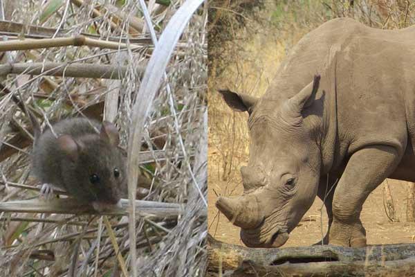 mouse-rhino-8-26-14-thumb-600x400-79548