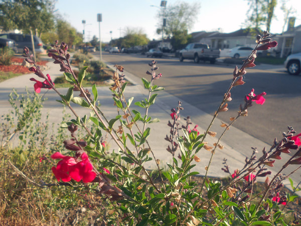 Drought-tolerant Autumn Sage flowers bloom in the parkway of an Elmer Avenue residence in Sun Valley, irrigated by stormwater runoff from the street.