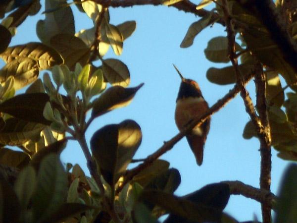 CC_Hummingbird1