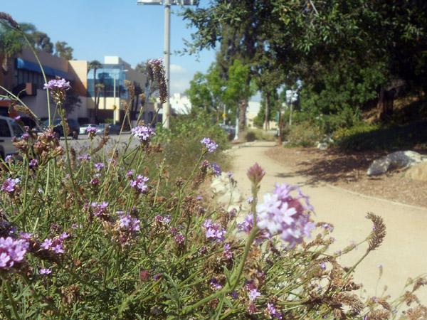 De la Mina Verbenas grow right along Ventura Boulevard in Studio City, in a native-filled pocket park dubbed 'The Oasis.'