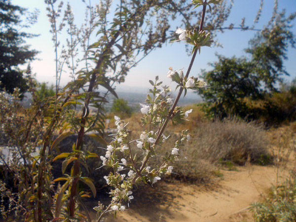 The flowers of the White Sage plant are in bloom here at the Baldwin Hills Scenic Overlook in Culver City.