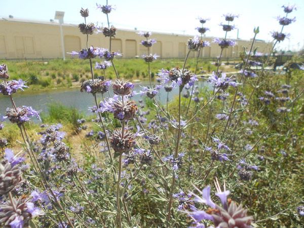 Cleveland Sage grows in front of the re-created wetlands at South L.A. Wetland Park.