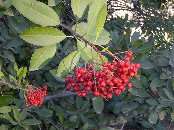 Toyon, also known as California Holly or Christmas Berry, as seen at Ernest E. Debs Regional Park in Northeast L.A. Its red 'berries' are characteristic for this time of the year.
