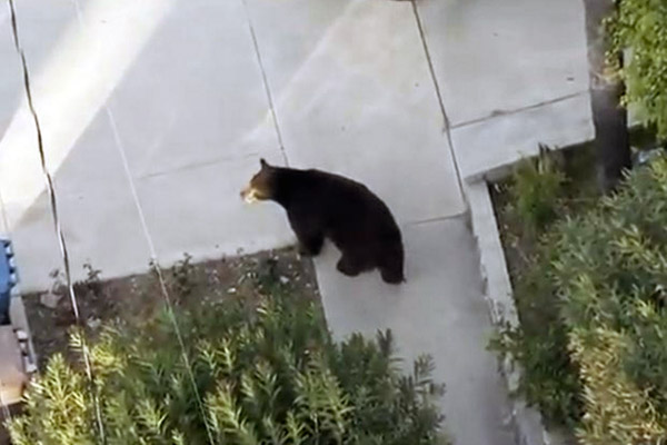 Meatball the Bear became a local celebrity after wandering into numerous Glendale-area backyards in 2012.