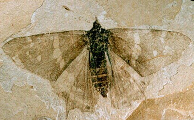 Fosili Florissant-fossil-butterfly