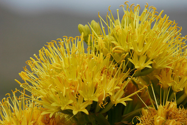 agave-deserti-closeup-4-11-13-thumb-600x400-48892