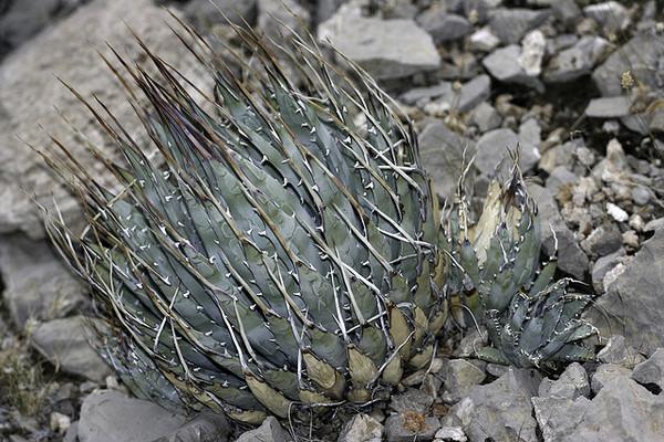 agave-utahensis-4-10-13-thumb-600x400-48881