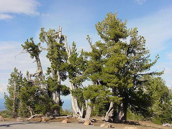 640px-Whitebark_pine_group-thumb-600x450-54890