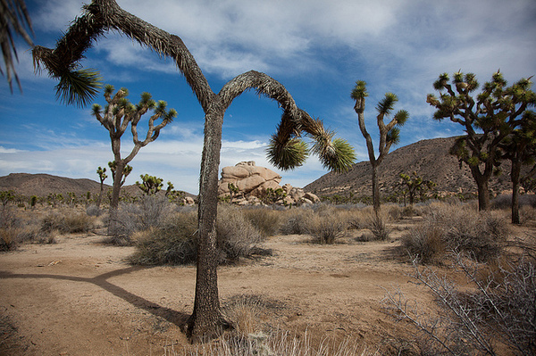 joshua-tree-9-27-13-thumb-600x399-60744