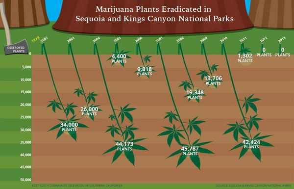 Marijuana cultivation by the numbers. Click through for larger image. | Infographic: Alex Savakis/KCET