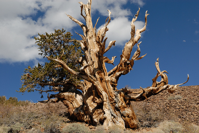 bristlecone-pine-bill-nye-2-26-14
