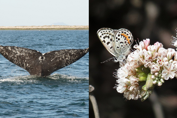 A gray whale tail and El Segundo blue butterfly.