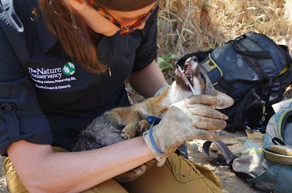 Christie Boser checks a fox's teeth; this male has a chipped front canine, which isn't uncommon in males trying to find their own territory. | Photo: Katherine Gammon