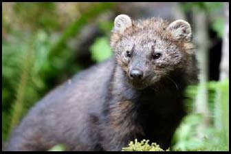 A Pacific Fisher. | Photo: Courtesy Washington Dept. of Fish and Wildlife