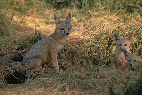 San Joaquin kit fox. | Photo: courtesy USFWS