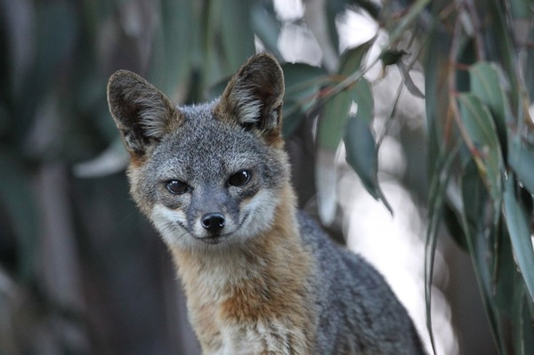A Santa Cruz Island Fox. | Photo: Courtesy The Nature Conservancy