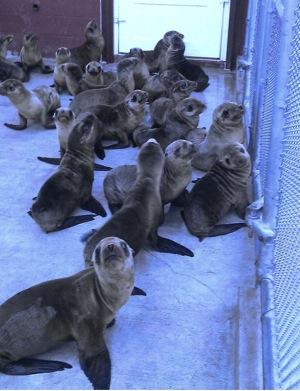 sea-lion-emergency-orange-county