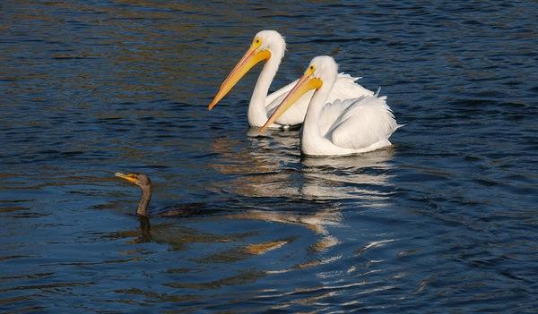 wildlife-sepulveda-basin-egrets
