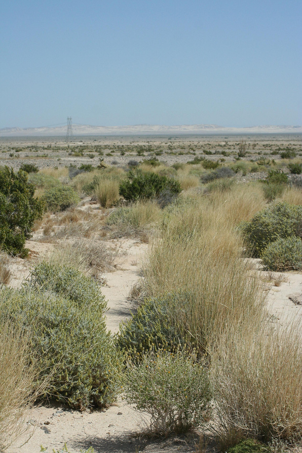 Big galleta grass meadow in Imperial County | Chris Clarke photo