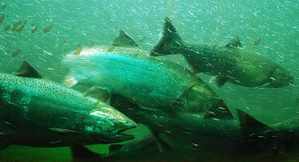 Salmon swimming up stream.