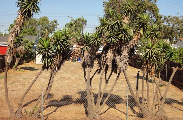 Yuccas-thumb-600x392-55401