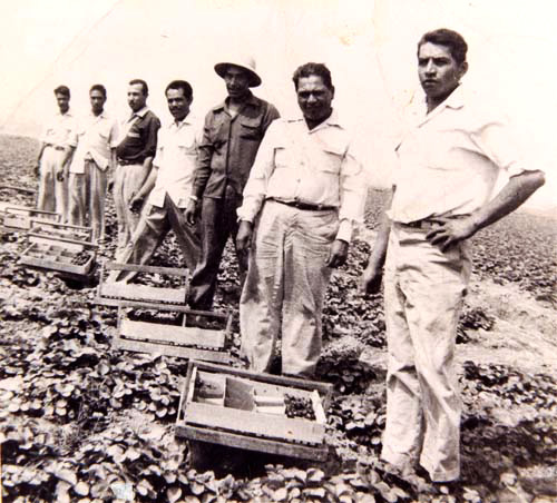Strawberry pickers in the fields outside El Monte. | Courtesy of La Historia Society of El Monte