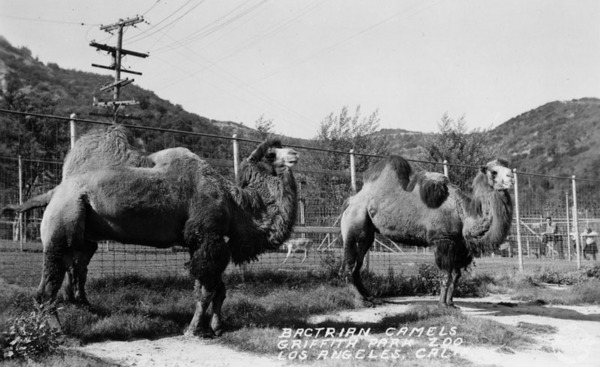 Camels at L.A. Zoo, ca. 1910-1916 | Photo: Security Pacific National Bank Collection, Los Angeles Public Library