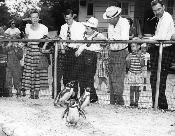 Mo, Smo, Andy, and Mandy, penguins at L.A. Zoo, 1949 | Photo: Valley Times Collection, Los Angeles Public Library