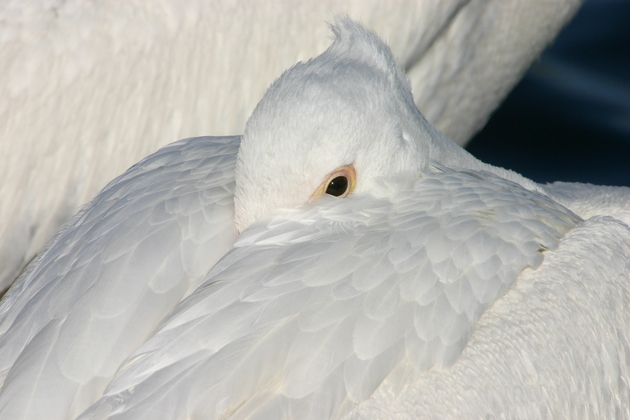 001_IMG_1541american_white_pelican.JPG