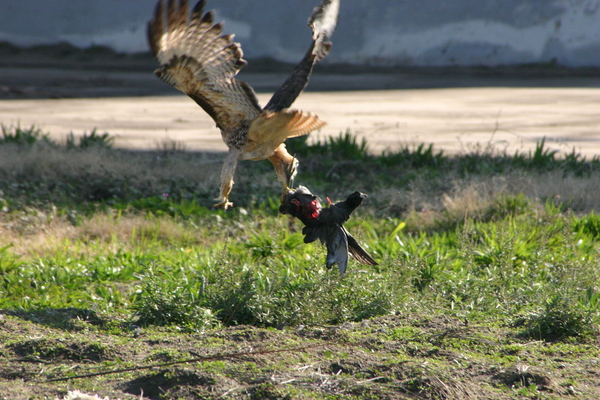 Red-tailed Hawk carrying an American Coot