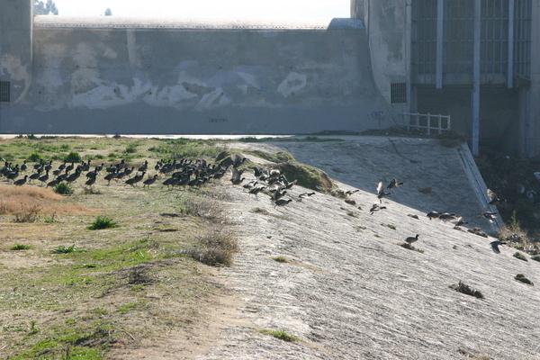 American Coots at Sepulveda Dam