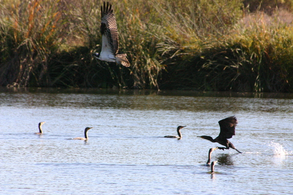 Osprey flying over Double-crested Cormorants