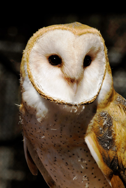 A barn owl | Photo: Nature of Wildworks