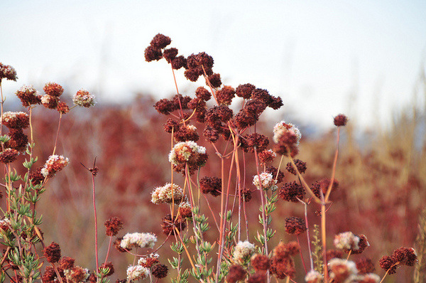 Buckwheat at the Tujunga Wash | Photo: Justin Cram/KCET Departures