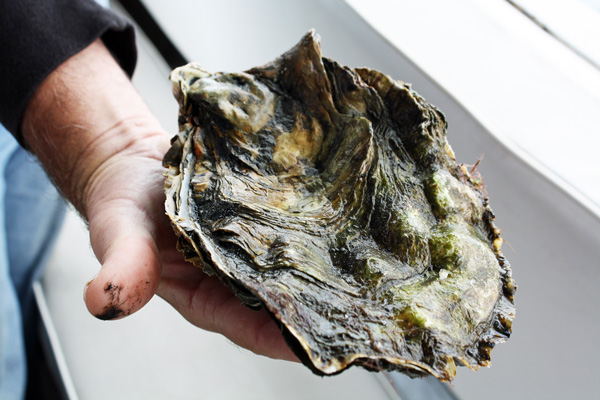 KCET_oysters5