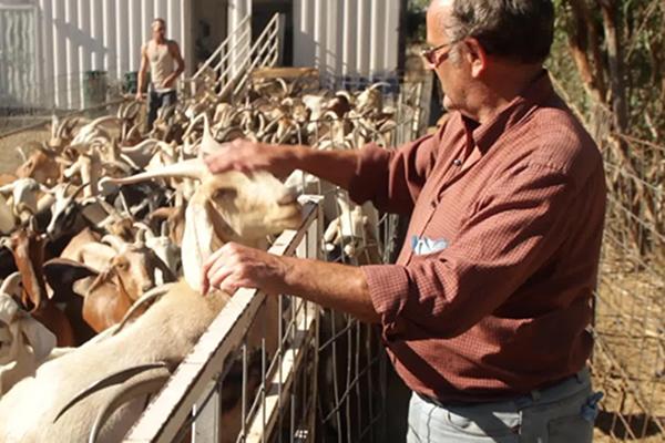 goats600