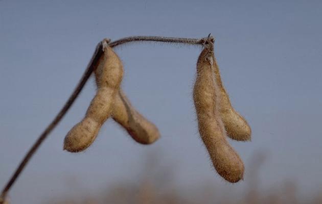 soybeans-monsanto