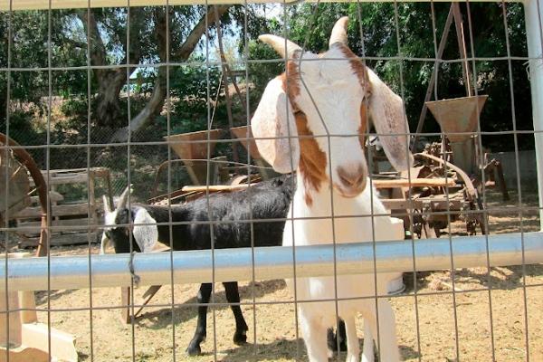 Tapia_goats-600