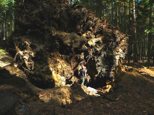 A firefighter looks at the root wads of both trees | Photo Courtesy Sequoia National Forest