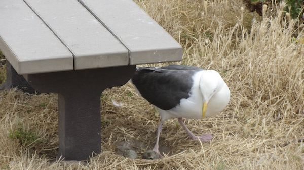 A parent tends to eggs under a bench near the campground | Photo by Zach Behrens/KCET