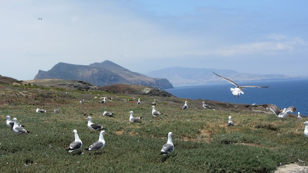 A field of gulls | Photo by Zach Behrens/KCET