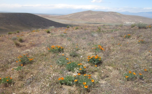 Clusters of California poppies, the state flower, seen on April 25th | Photo Courtesy of California State Parks