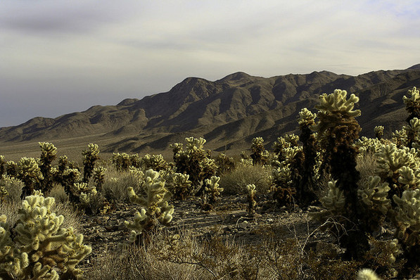 The Pinto Basin Cholla Garden, now open for business | © Chris Clarke