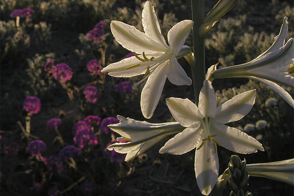 Desert Lily near the sanctuary in 2009 | Creative Commons photo by Wayfinder_73