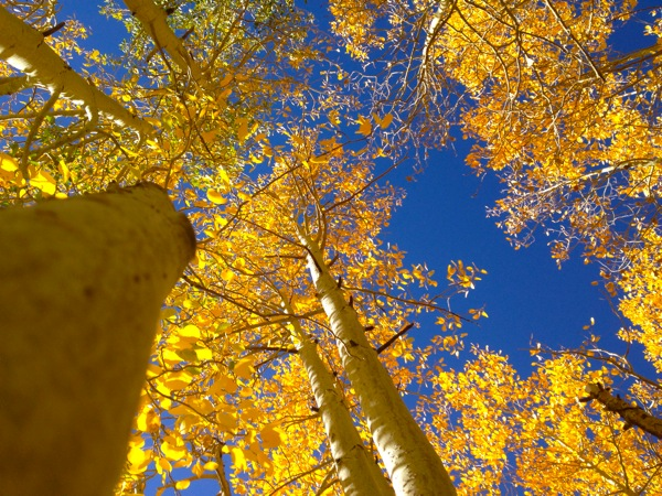 Yellow-leafed aspens on Rock Creek Road in Mono County. | Photo: Zach Behrens/KCET