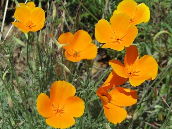 California poppies | Photo: Courtesy Bethany Gediman