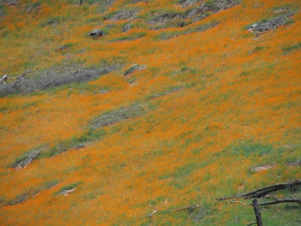 California poppies along Highway 140 | Photo: Courtesy Bethany Gediman