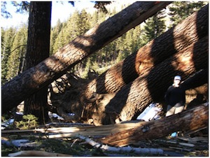 Downed trees | Photo: Courtesy Inyo National Forest